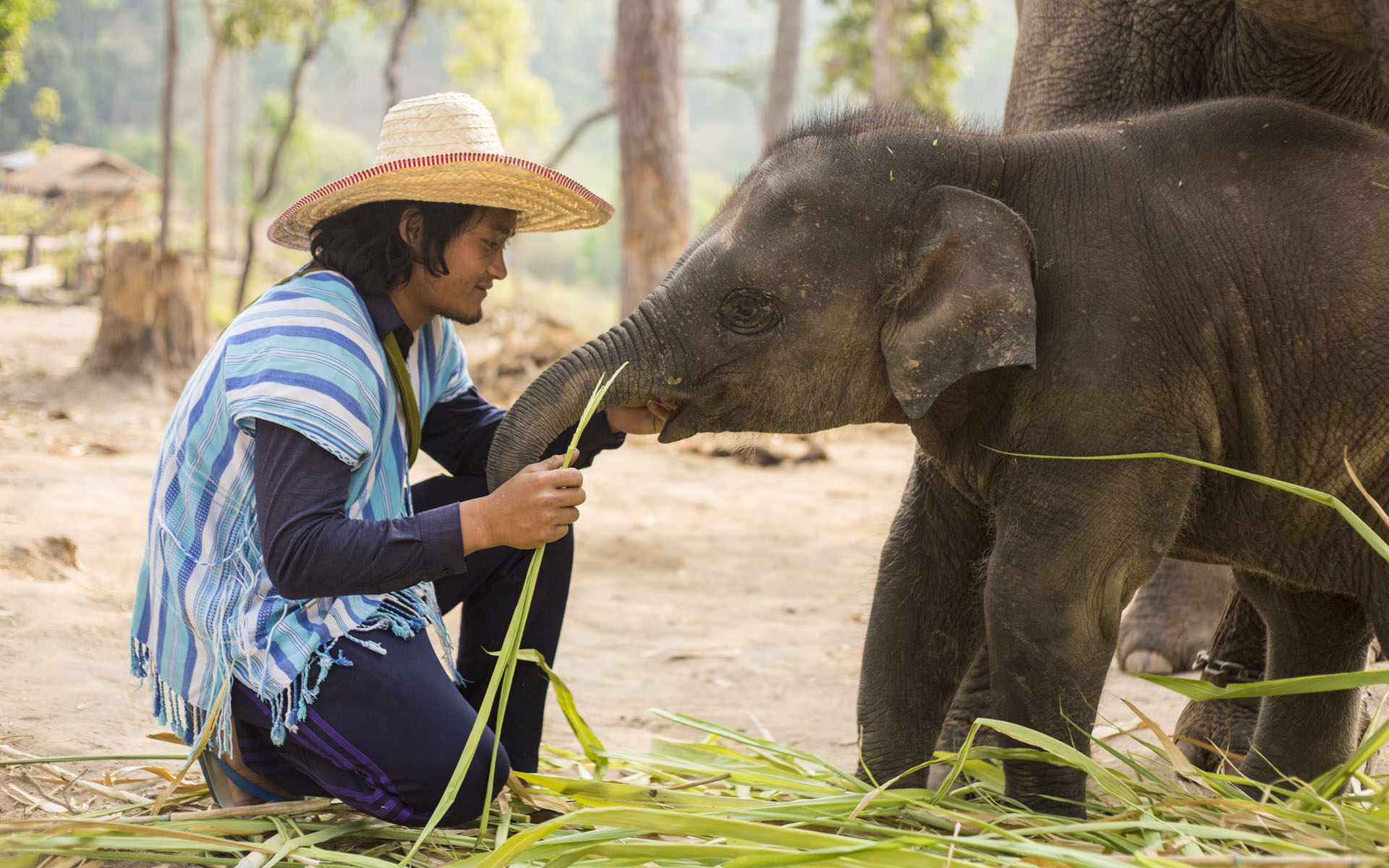 Somporn feeds an elephant in Thailand.