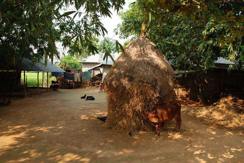Bangladesh Cow Outside a Small Thatch Home
