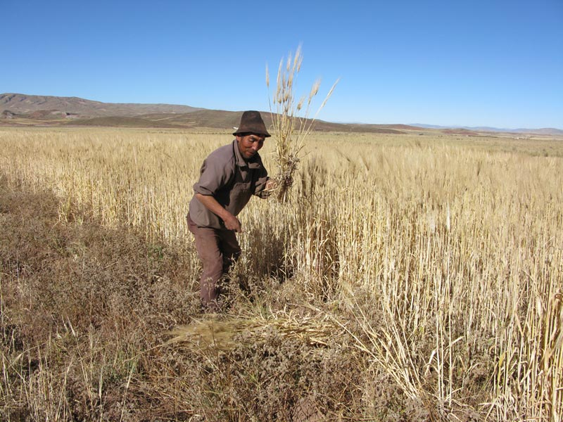 Bolivia man gathering wheat