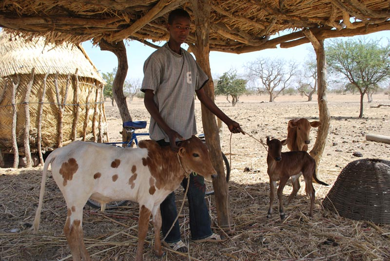 Burkina Faso Boy With Two Small Cows