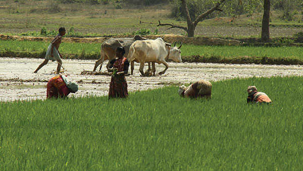 East India man plowing field