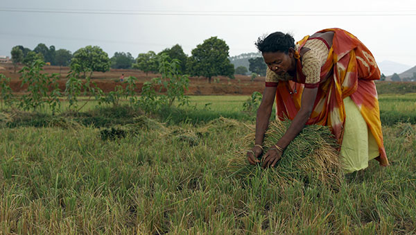 East India woman baling hay