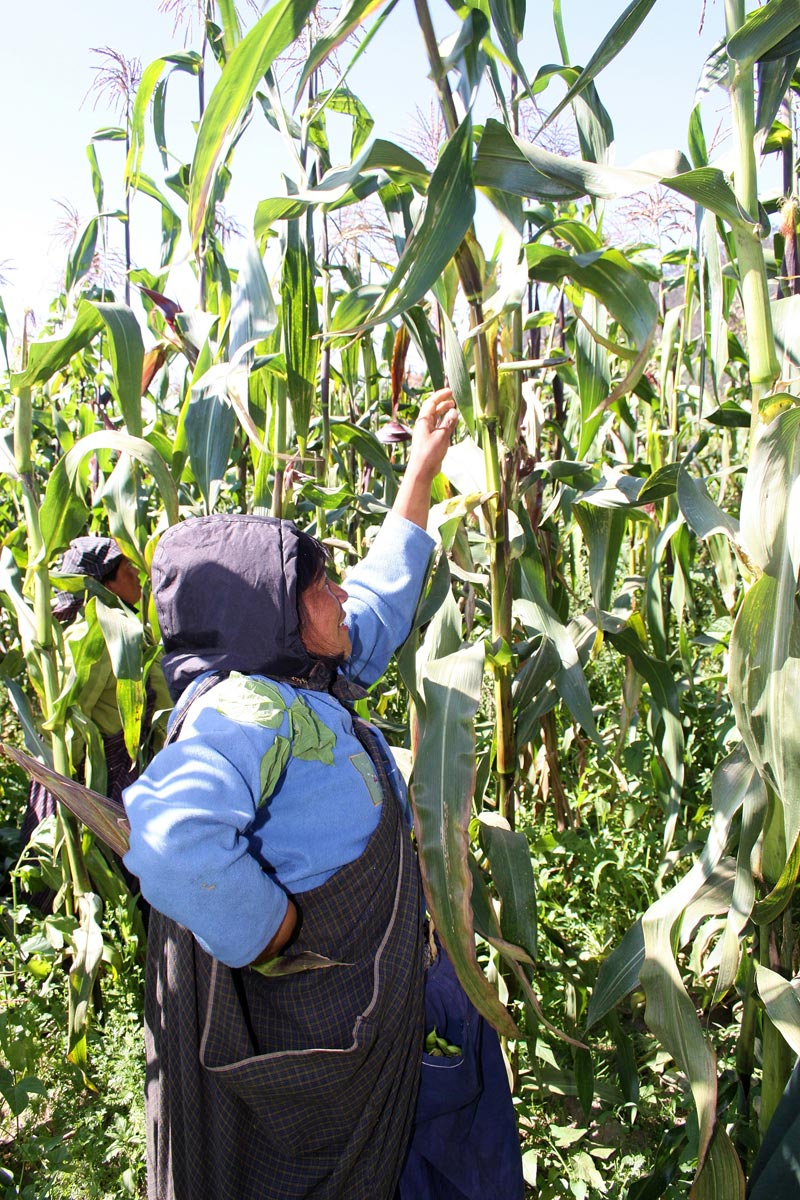 Ecuador Woman Picking Corn
