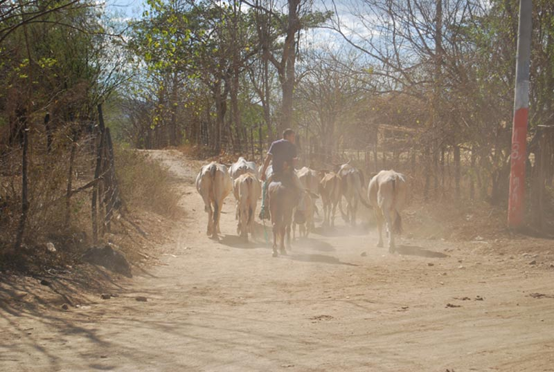 El Salvador Man Herding Cows on Road