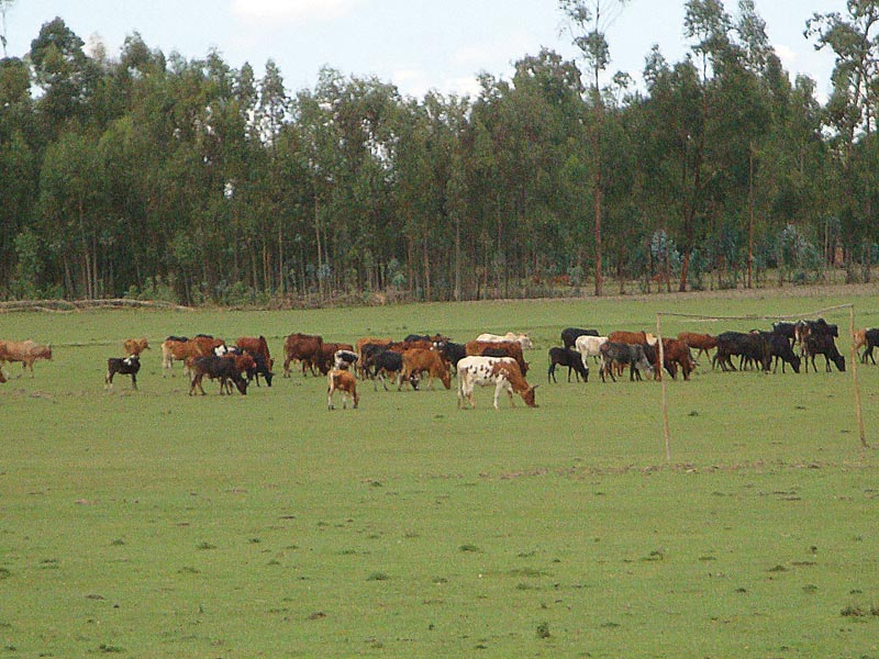 Ethiopia Cows Grazing in a Field