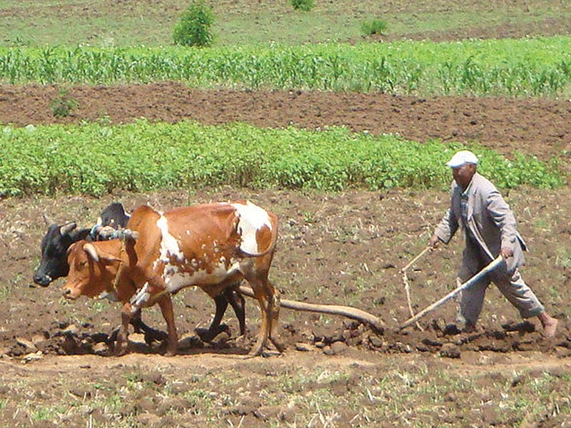 Ethiopia Man Plowing a Field With Two Oxen