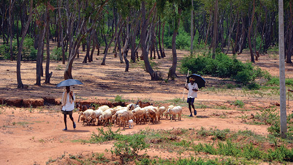 India men herding sheep