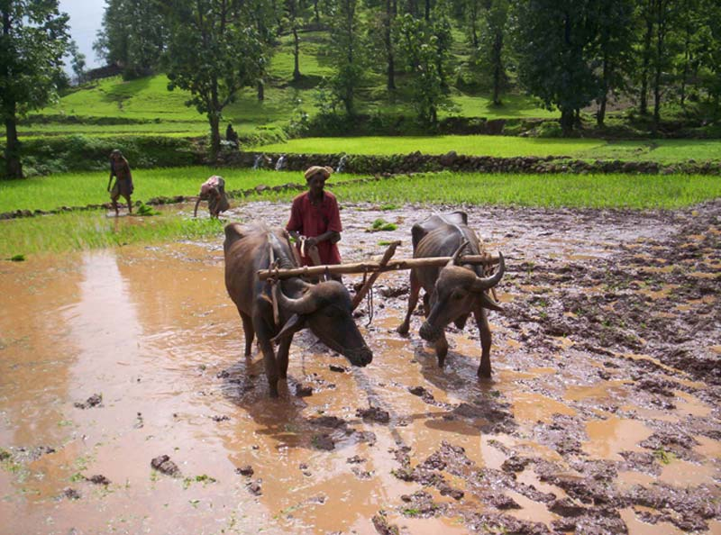 India men plowing rice field