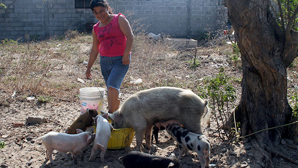 Mexico Woman Feeding Pigs