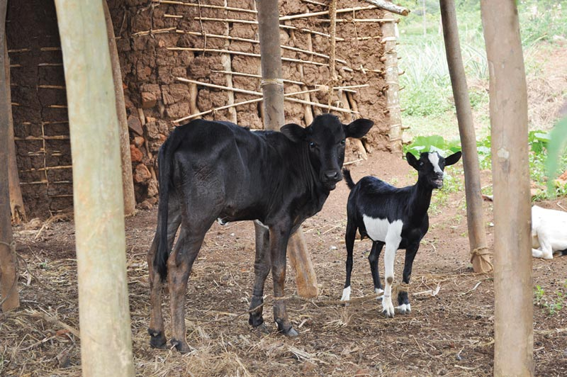 Uganda Cow and Goat