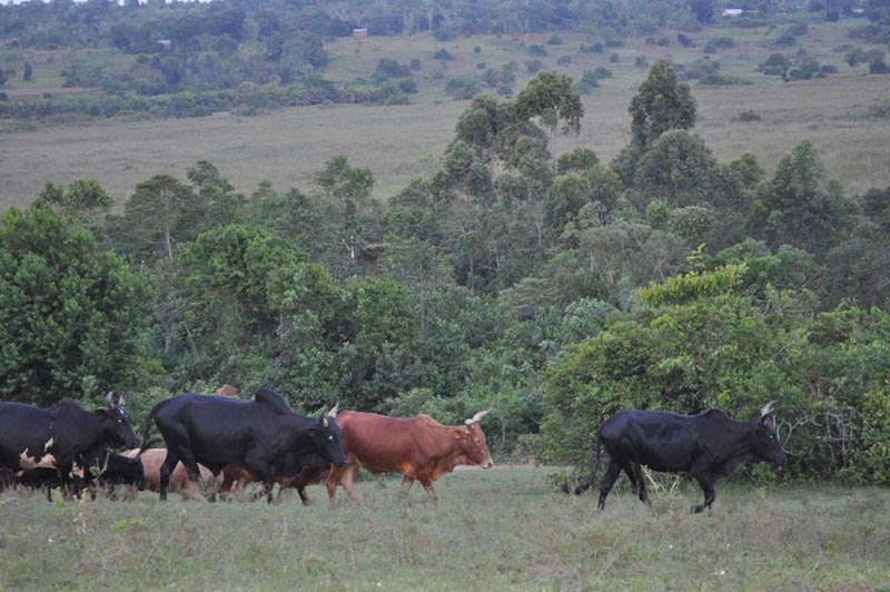 Uganda Cows in a Field